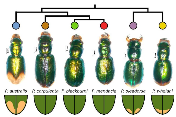 External morphology of samples showing the phylogenetic relationships among tiger beetles.